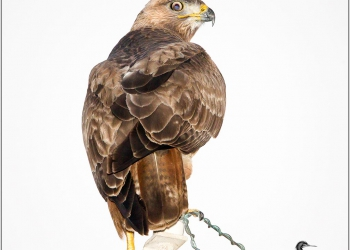 high-key-buzzard