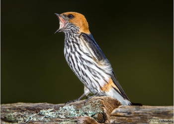 lesser-striped-swallow