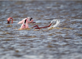 feeding-lesser-flamingo