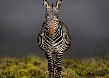 mountain-zebra-in-the-mist
