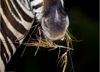 zebra-with-food